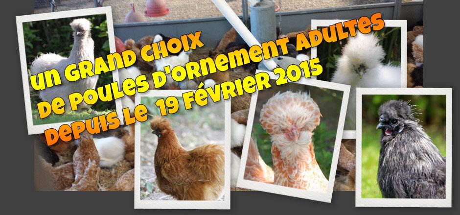 La ferme avicole bauduin sp cialiste en volaille et aliment pour poules poul - Poules d ornement pour le jardin ou la basse cour ...
