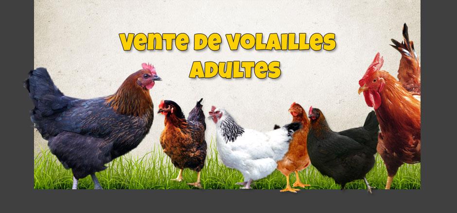 La ferme avicole bauduin sp cialiste en volaille et for Les maladies des volailles